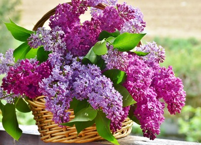 Picture of wicker basket holding two shades of cut lilacs